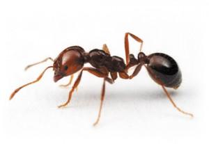 termidor-fire-ant